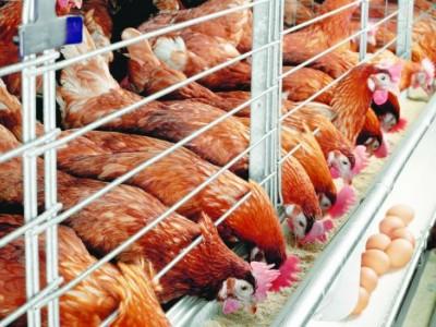Куриная ферма в 5 минутах от Красноярска