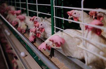 Современная птицефабрика