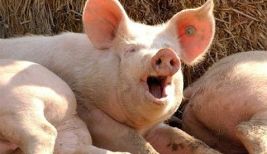 Свиноферма в Барнауле окупаемостью 5 месяцев