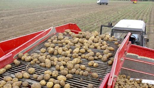 Картофельная ферма