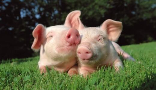 КФХ со свинокомплексом (800 голов) (продано)