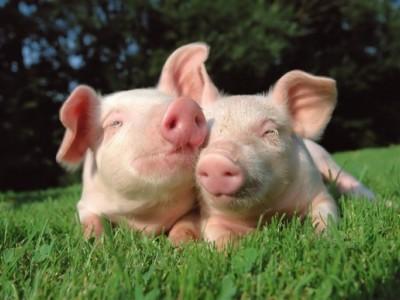КФХ со свинокомплексом (800 голов)