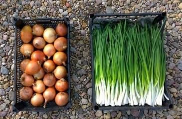 Бизнес по выращиванию зеленого лука (продано)