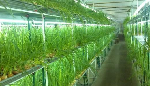Выращивание зеленого лука (продано)